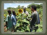 Sunflower crops in TRLF youthfarm