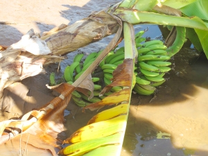 Bananas lost to the floods