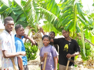 New Banana crop - post floods Oct 2013