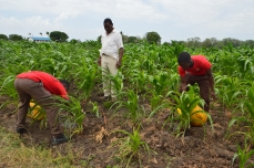 Students tending to the school maize project